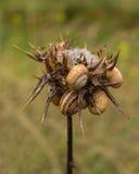 度夏在干燥蓟植物的白色锅牛 免版税库存照片