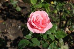 庭院一朵桃红色花上升了与蜘蛛 免版税图库摄影