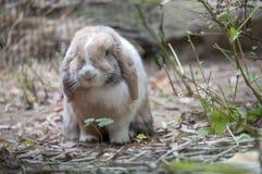 庭院兔子 免版税库存图片