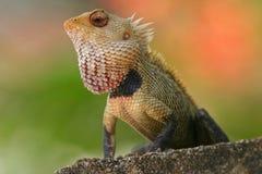庭院印地安人蜥蜴 免版税库存照片