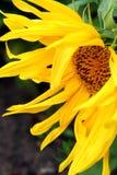 庭院向日葵 免版税图库摄影