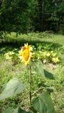 庭院向日葵 免版税库存照片