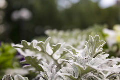 庭院和公园的银色鞋带瓜叶菊 免版税库存照片