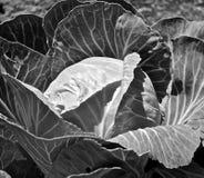 庭院圆白菜在黑白的厂特写镜头 库存图片