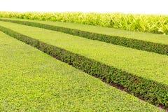 庭院在与绿色布什的夏天在长的行整洁地切开了 免版税图库摄影