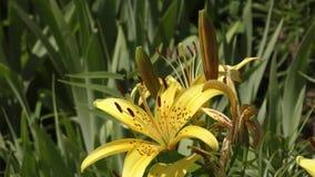 庭院在flecked的百合黄色 影视素材