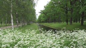 庭院夏天 桦树和橡木大道沿渠道增长用水 在前景的白花 股票录像