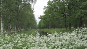 庭院夏天 桦树和橡木大道沿渠道增长用水 在前景的白花 影视素材