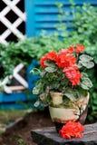 庭院大竺葵红色 库存图片