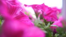 庭院大紫罗兰色快乐花卉生长在夏天在slo mo