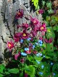 庭院宏观照片开花家庭毛莨科的集水量和蓝色小花勿忘我草紫草科家庭 免版税图库摄影