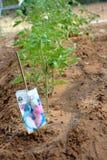 庭院家庭工厂蕃茄年轻人 免版税库存照片
