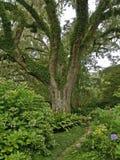 庭院小橡树 免版税图库摄影
