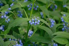 庭院小的蓝色吊钟花和绿色叶子 免版税库存图片