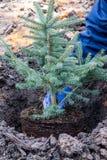 庭院工作者种植一棵年轻蓝色云杉的树 免版税库存图片