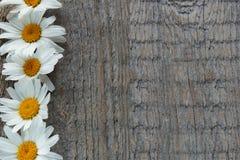 庭院开花在木背景的雏菊与您的文本的地方 复制空间 免版税图库摄影