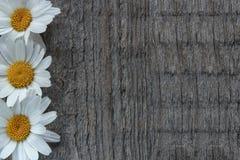 庭院开花在木背景的雏菊与您的文本的地方 复制空间 库存图片
