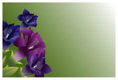 庭院开花深紫红色颜色 免版税库存照片