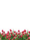 庭院或郁金香在白色 免版税库存图片
