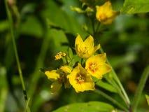 庭院或黄色珍珠菜,寻常的金钱草,开花特写镜头,选择聚焦,浅DOF 库存照片