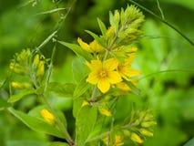庭院或黄色珍珠菜,寻常的金钱草,开花特写镜头,选择聚焦,浅DOF 库存图片