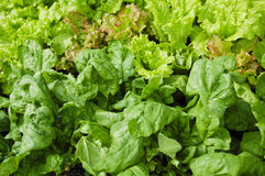 庭院散叶莴苣种植菠菜 免版税库存图片