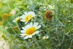 庭院春黄菊雏菊花特写镜头 与开花的医疗春黄菊的美好的自然场面 库存照片
