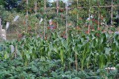 庭院有机蔬菜 库存照片