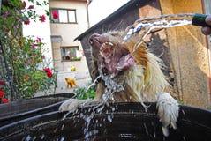 从庭院橡胶软管的狗饮用水 免版税库存照片