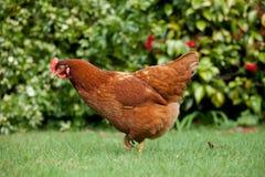 庭院母鸡 免版税库存照片