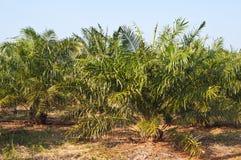 庭院油棕榈树 库存图片