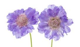 庭院淡紫色苍白scabiosa 免版税库存图片
