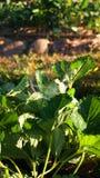 庭院温室生长草莓 免版税库存图片