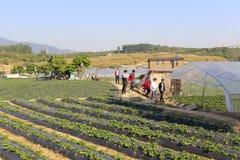 庭院温室生长草莓 免版税图库摄影