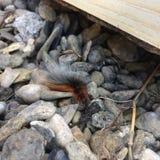 庭院灯蛾毛虫在小卵石的Arctia caja 免版税库存照片