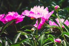 庭院牡丹的桃红色花 夏天自然背景 库存照片