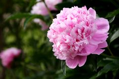 庭院牡丹 免版税库存照片