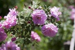 庭院玫瑰分支,香水月季 免版税库存照片