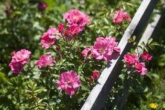 庭院玫瑰分支,香水月季 免版税库存图片