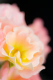 庭院玫瑰摘要  免版税库存照片