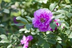 庭院玫瑰,野玫瑰果分支  免版税库存图片