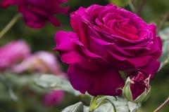 庭院玫瑰 免版税图库摄影