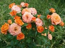 庭院玫瑰- Eutopia庭院- Arad,罗马尼亚 免版税库存图片