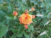 庭院玫瑰- Eutopia庭院- Arad,罗马尼亚 库存图片