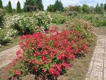 庭院玫瑰- Eutopia庭院- Arad,罗马尼亚 免版税库存照片