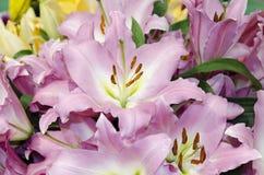 庭院百合花,桃红色颜色 免版税库存照片
