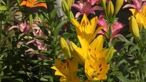 庭院百合黄色 影视素材