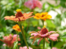庭院百日菊属 库存照片