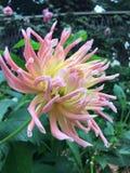 从庭院的可爱的花 免版税库存照片