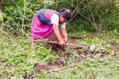 从庭院的土产妇女采摘yuca prepar丝兰面包的(木薯)用一个传统方式 库存照片